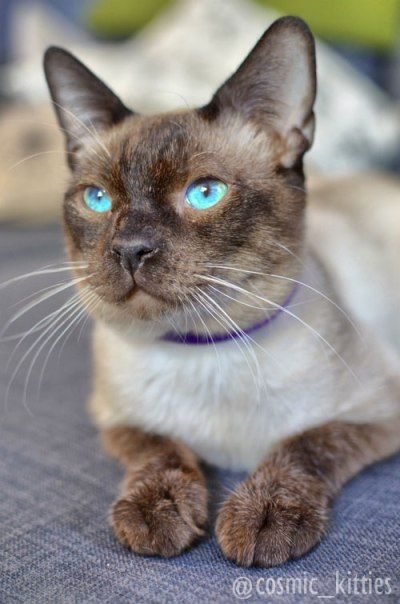 Caelum Gets Adopted With Images Tonkinese Cat Cats Cat Adoption