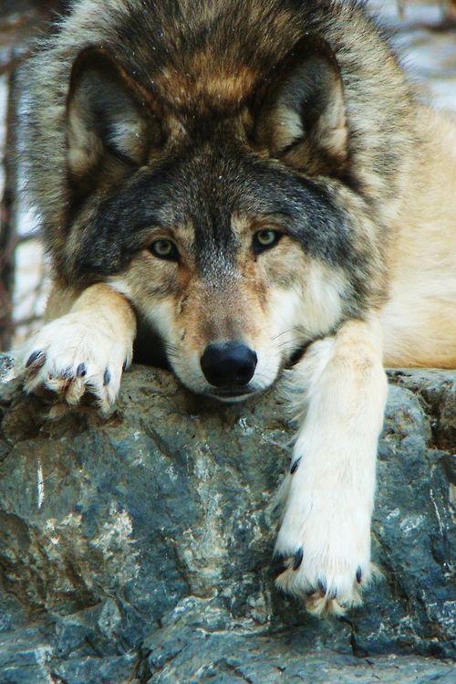 restinforest:  wolvesbyAlyssa Myhreron Flickr