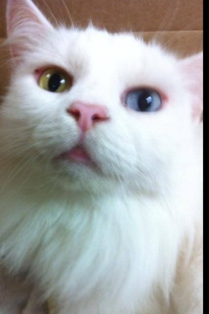 Meet Jovanna A Petfinder Adoptable Domestic Medium Hair White Cat Melbourne Fl You Can Fill Out An Adoption A White Cat Cats Medium Hair Styles