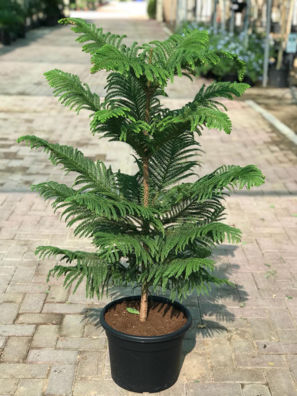 Araucaria Heterophylla Norfolk Island Pine Tree Buy Online Green Souq Uae Norfolk Pine Conifer Trees Plants