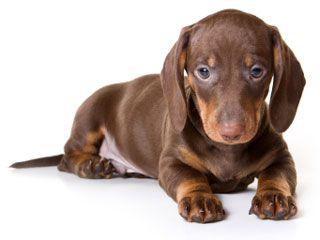 Do Dogs Mourn Dachshund Puppies Dachshund Dog Teacup Dachshund