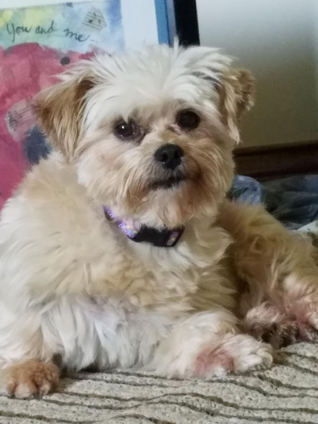 Adopt Phoebe on Adoption, Shih tzu maltese mix, Pet care
