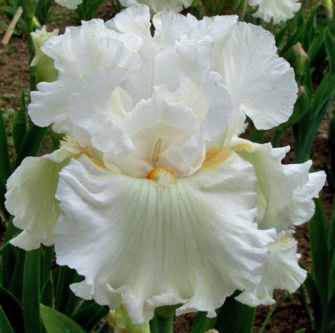 Iris Boston Cream Iris Flowers Iris Garden Beautiful Flowers Photos