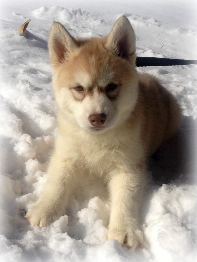 Waiting List Akc Quality Siberian Husky Puppies 23 Champions In 4