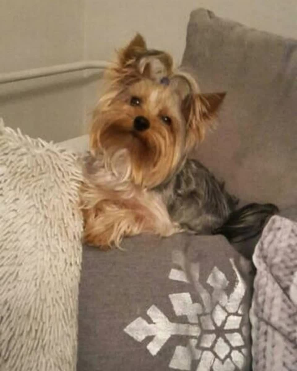 Pin By Angela Moriarity On Yorkie Dogs Yorkie Dogs Yorkie