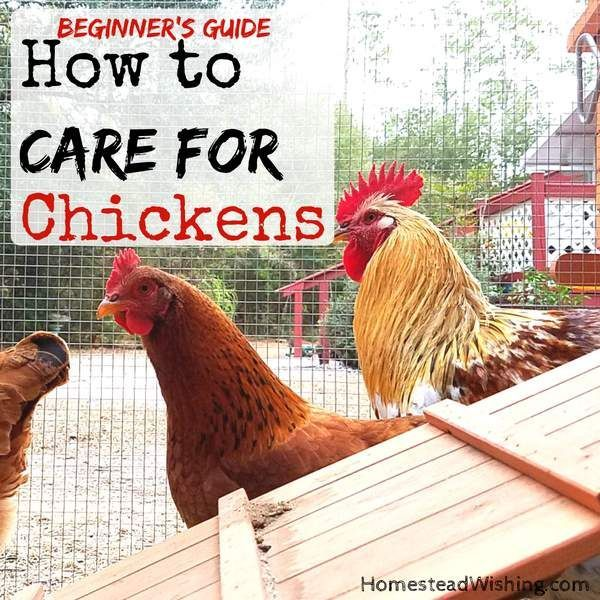 How to Care for Chickens - Chickens Beginners Guide ...