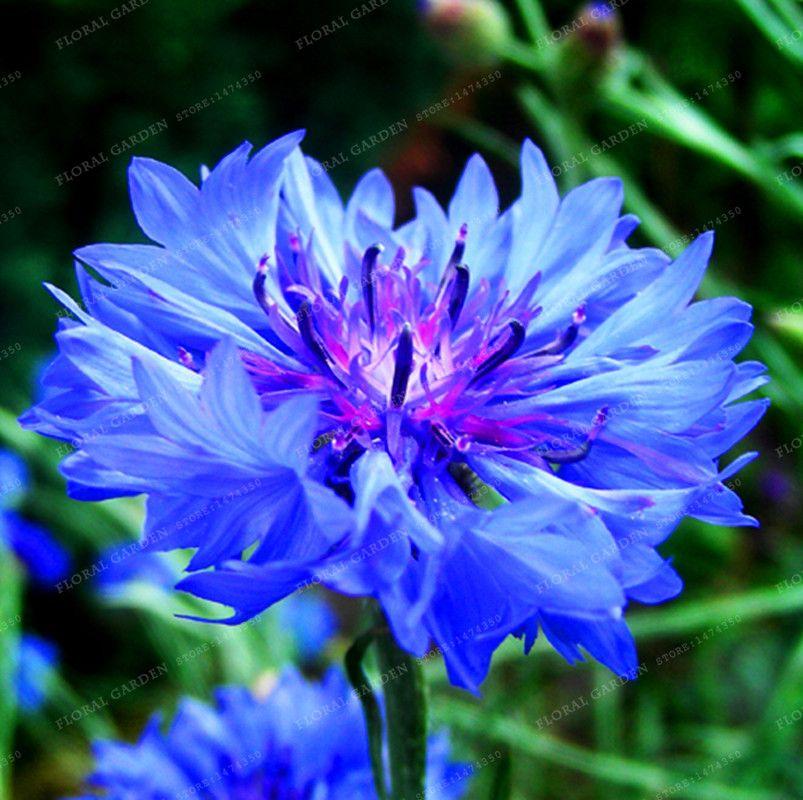 100 Pcs Blue Cornflowers Germany S National Flower Chrysanthemum Flower Seeds Mini Bonsai Flower Seeds For H Flower Desktop Wallpaper Flowers Beautiful Flowers