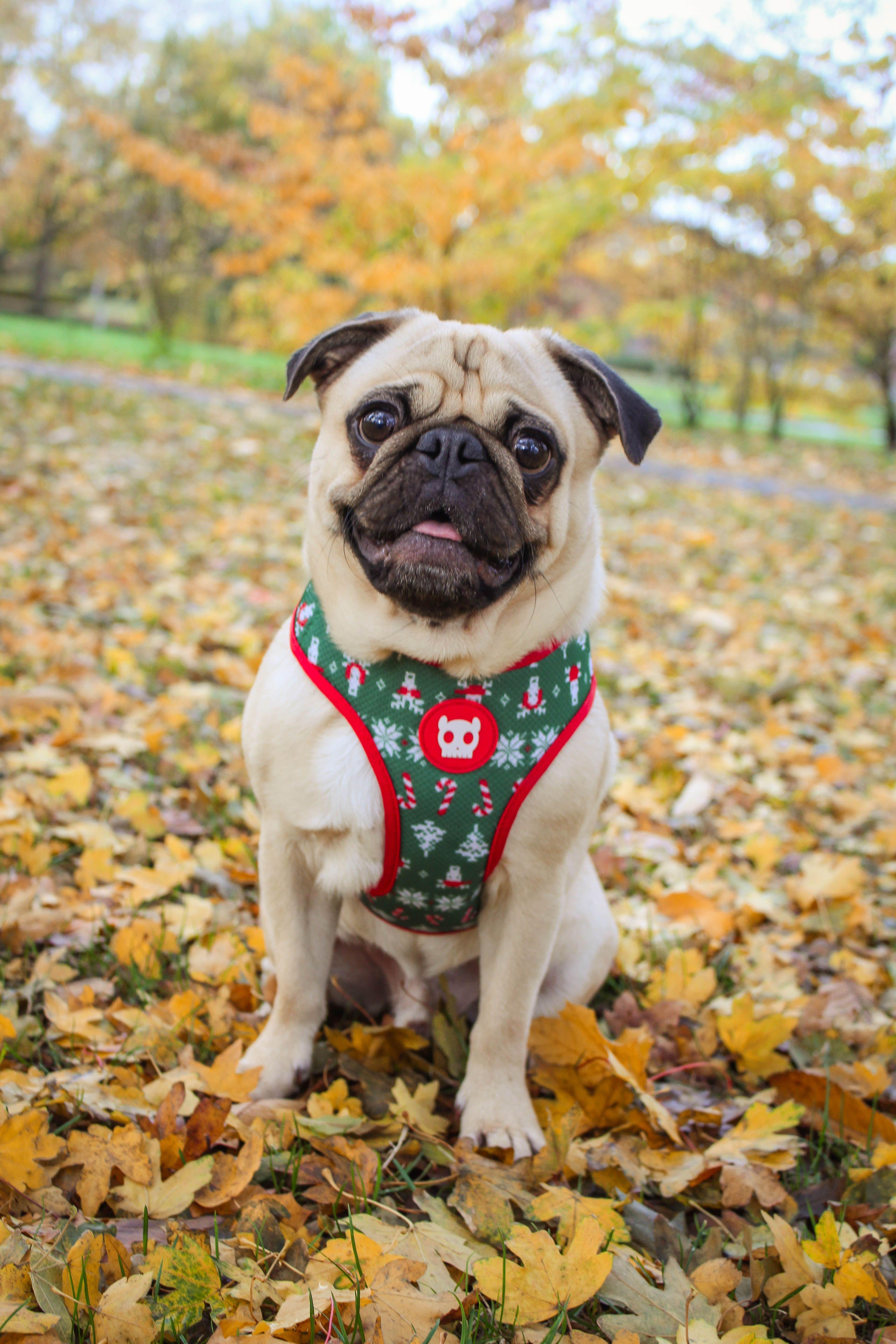 Pin By Sheri Schneider On Puggy Love Pugs Buzzfeed Animals Dog