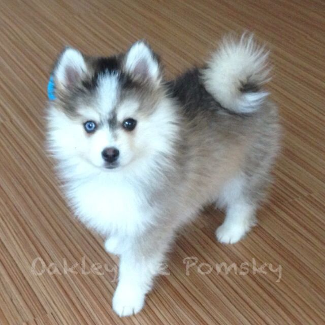 Pomsky Dog For Sale In Texas