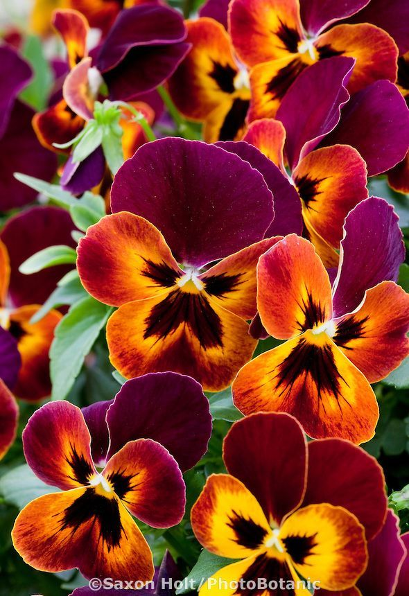 Violets Trailing Pansy 'Wonderfall' by Saxton Holt / PhotoBotanic~~