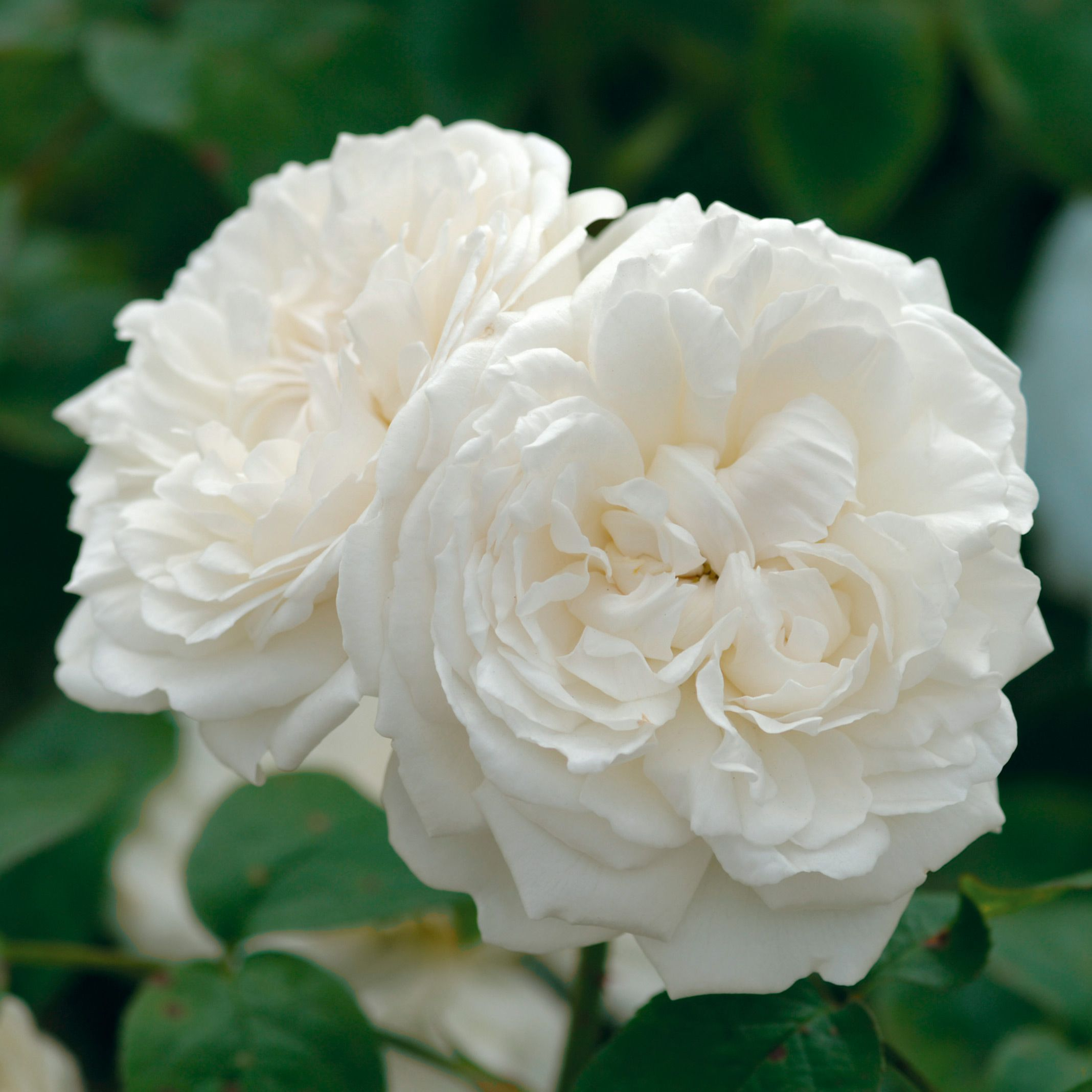 Rose Winchester Cathedral Shrub Rhs Winchester Cathedral Rose Container Roses White Flowers Garden