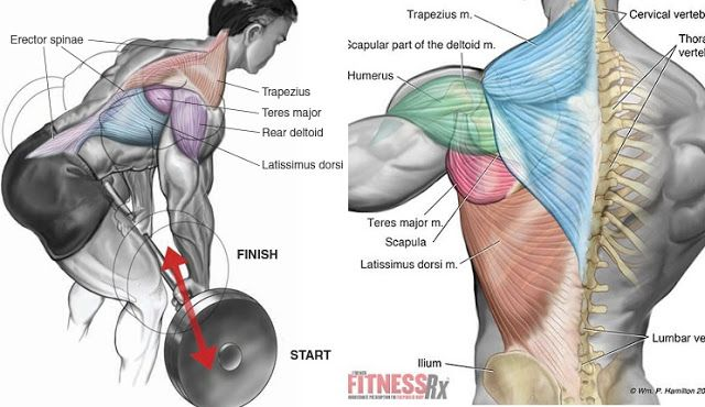 Bent Over Barbell Row Exercise bodybuilding Pinterest Barbell - fresh arnold blueprint training review