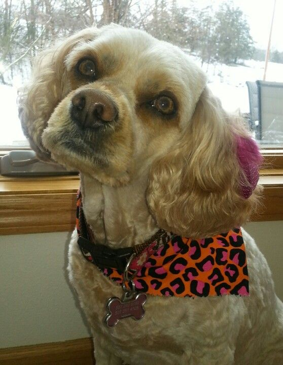 Daffney (cavachon) styling a ear feather with matching neckerchief.