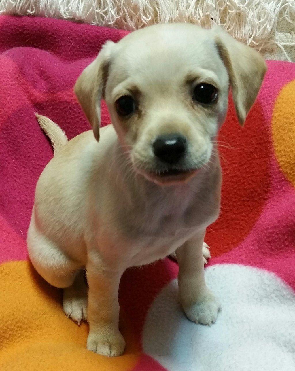 Gayweho Dogs 4 U On Dogs Animals Chihuahua