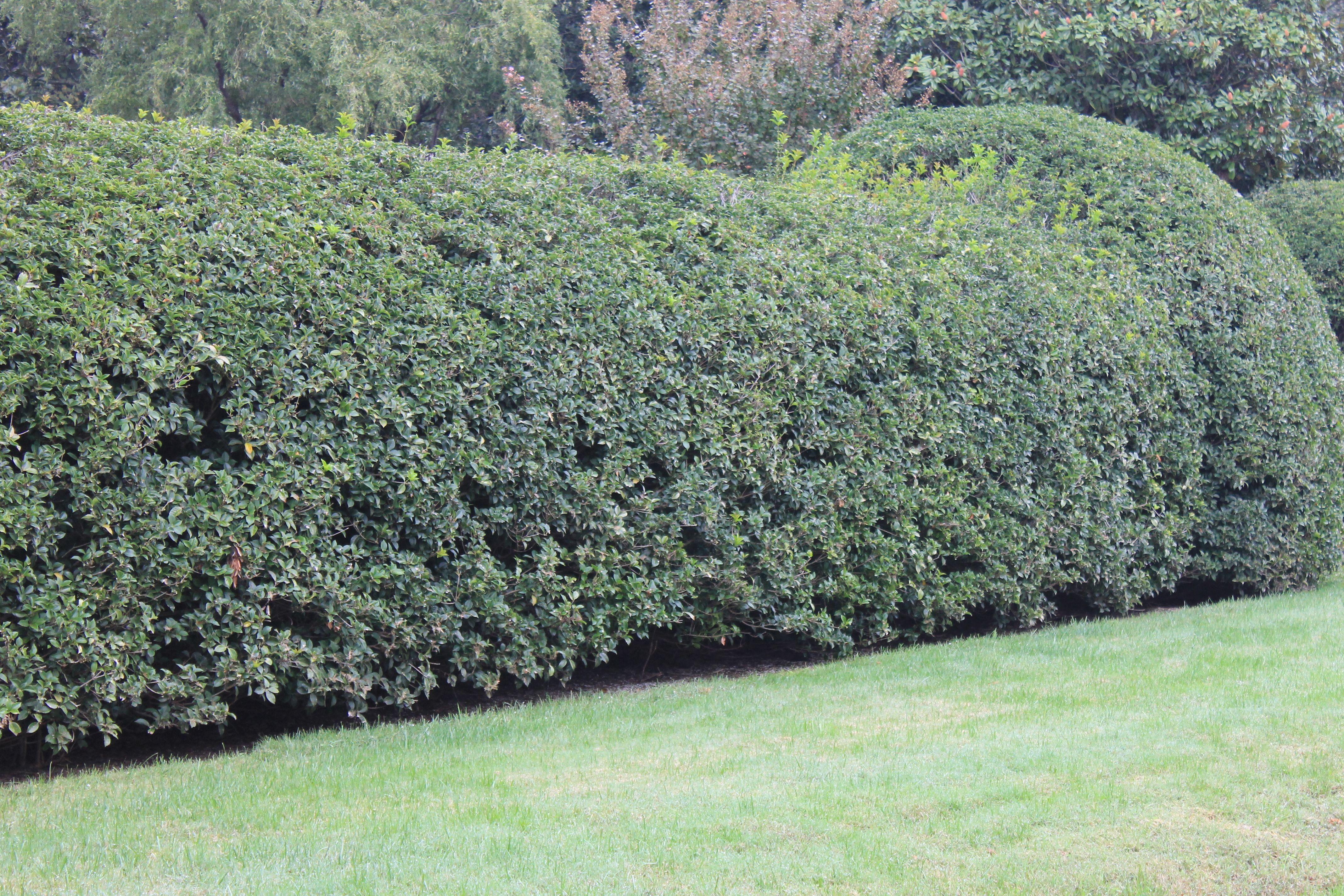 Fall Favorite Fragrant Tea Olive Olive Trees Landscape