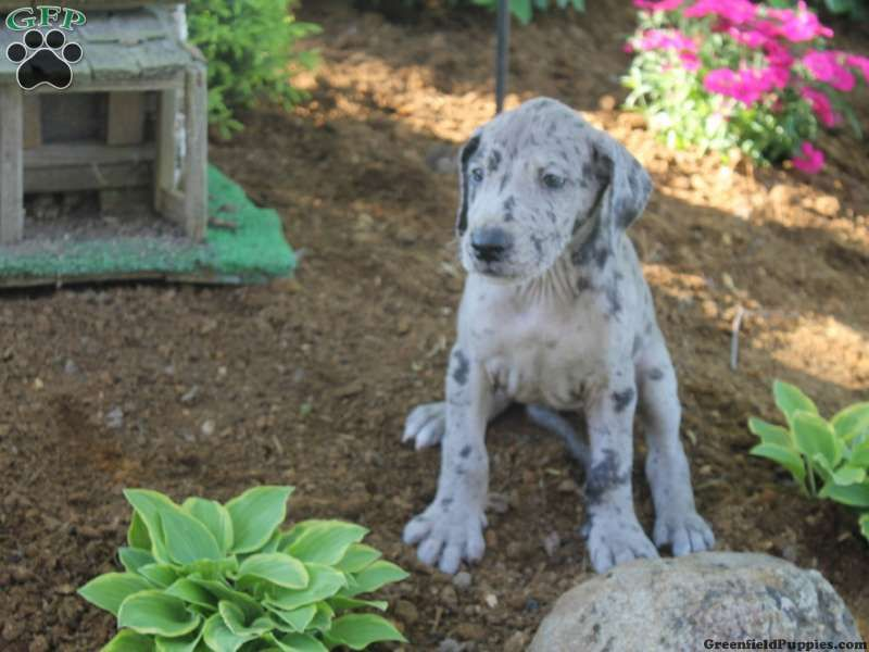 Greta great dane puppy for sale from hagerstown in