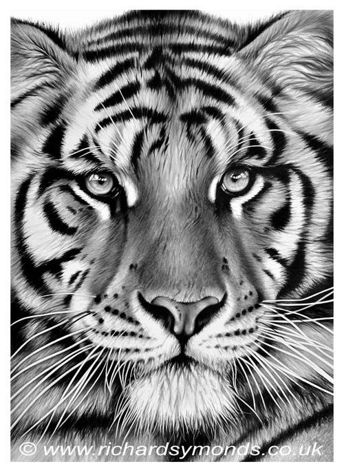 Tiger Pride | Big cats art, Tiger sketch, Wildlife paintings