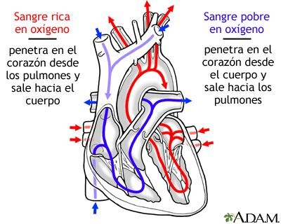 Circulacion De La Sangre A Traves Del Corazon Heart Failure Treatment Heart Failure Respiratory Therapy