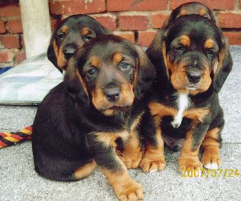 Tyrolean Hound / Tiroler Bracke #Dogs #Puppy | Tyrolean ...