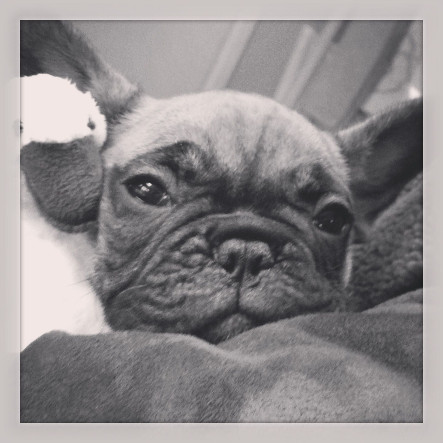 #Our cute little french bulldog@ arrivel#welcome Kamille#