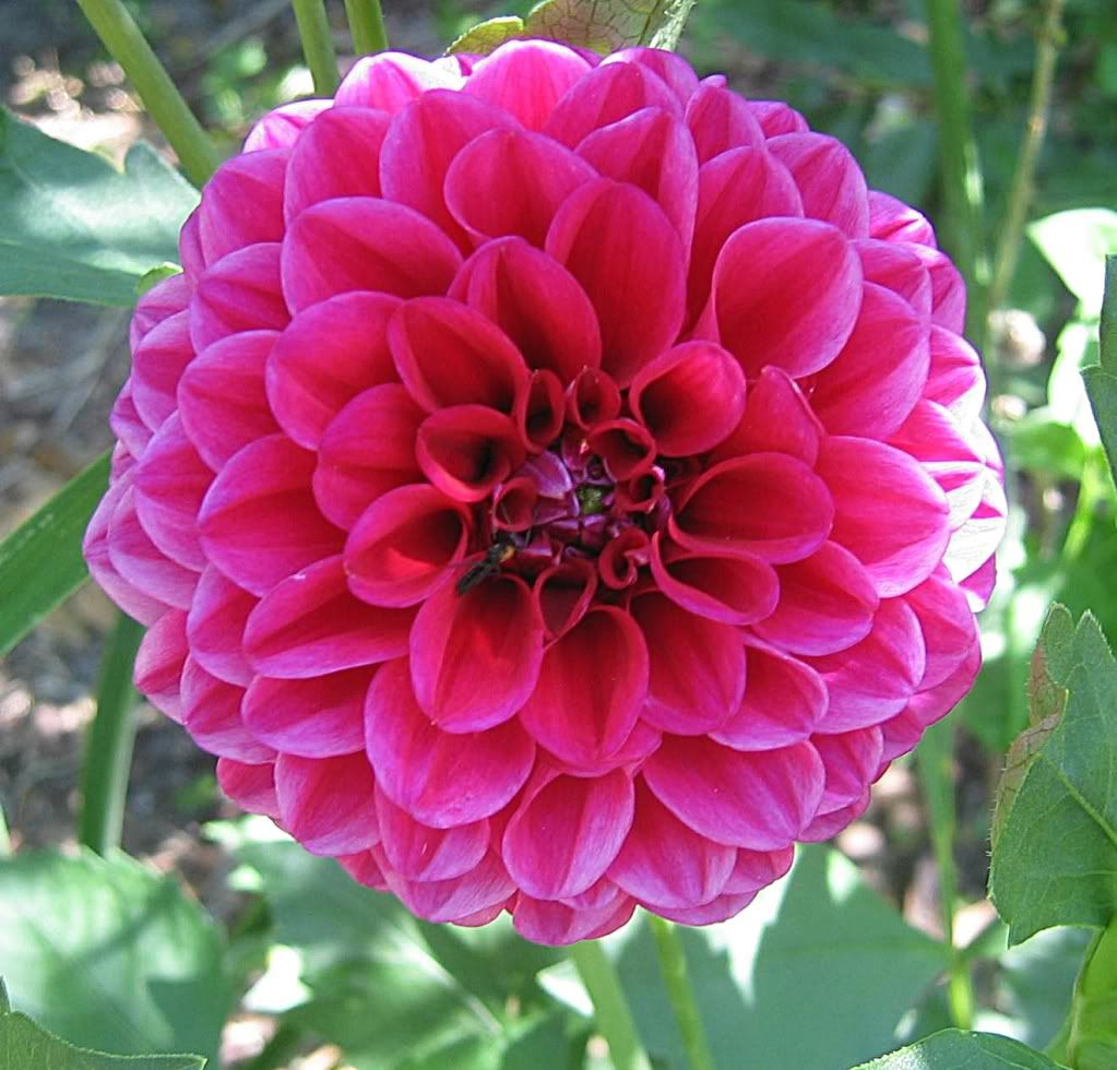 Hot Pink Dahlias I Love These Flowers They Also Come In Whites And