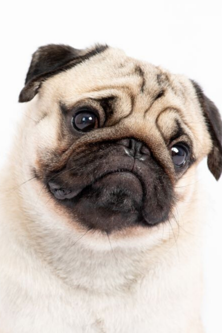 Cute Pet Dog Pug Breed Smile With Happiness Feeling So Funny And Making Serious Face Isolated On White Background Purebred Pug Dog Heal Baby Pugs Pugs Pug Dog