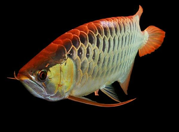 Asian red arowana scleropages formosus freshwater fish for Freshwater dragon fish
