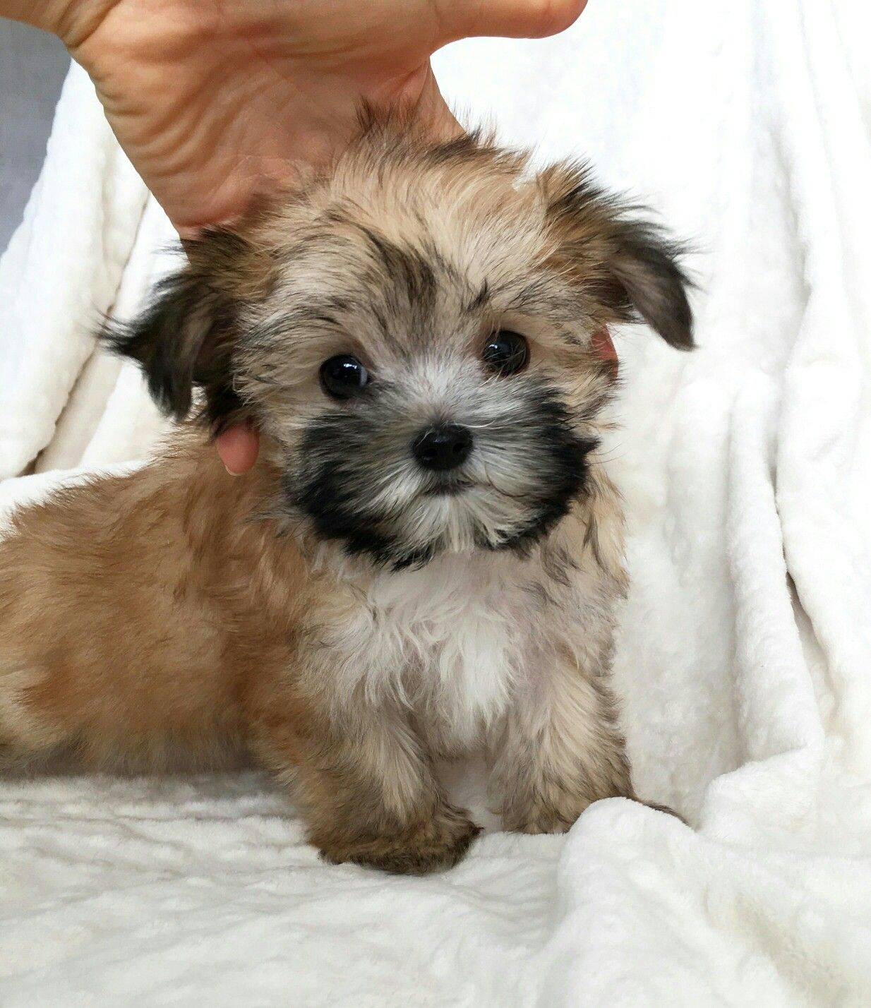 Morkie Maltese puppies for sale, Puppies for sale