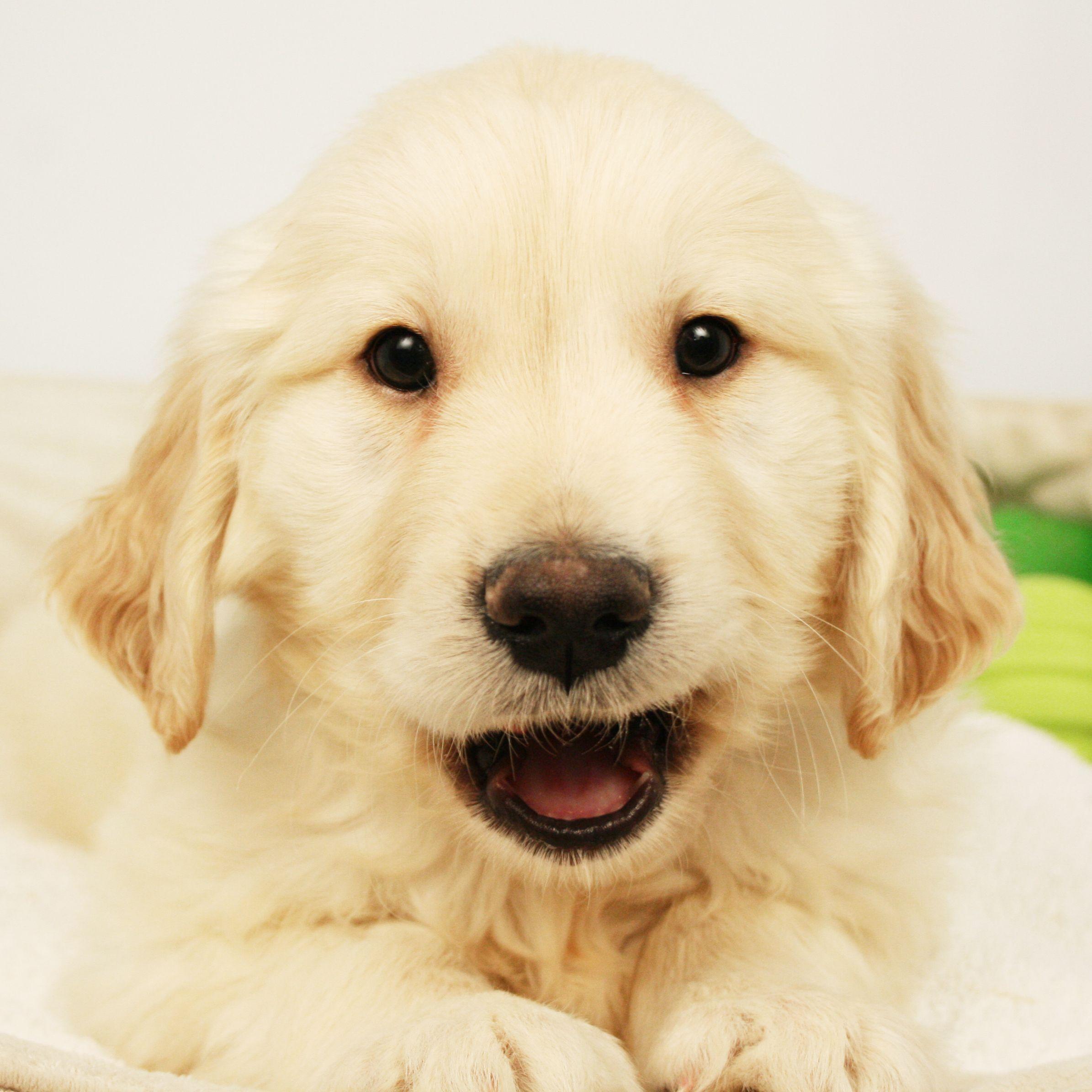 Golden Retriever Puppies Will Always Be Precious Goldenretriever Dogs Golden Retriever Golden Retriever Puppies