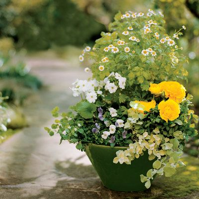 Splash of white. n this garden pot: feverfew, ranunculus, licorice plant, Johnny-jump-up, blue star creeper, bacopa, and primula obconica