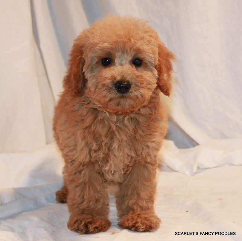 apricot poodle puppy for sale
