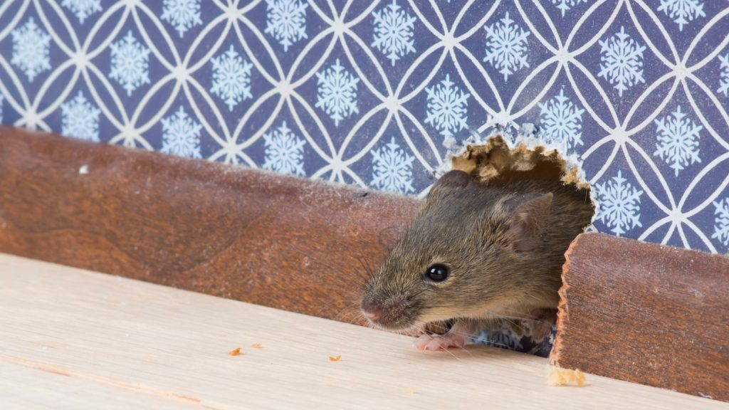 Keep Rodents And Pests Out Of Your Home This Winter A Room By Room Guide Rodents Mice Control Peppermint Oil For Mice