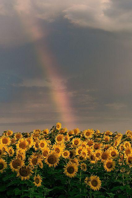 To Help Maximize Sun Exposure Sunflowers Use Heliotropism A