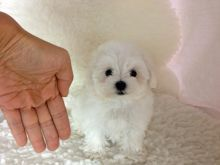 Sweet Quality Teacup Maltese Puppies Image Eclassifieds4u
