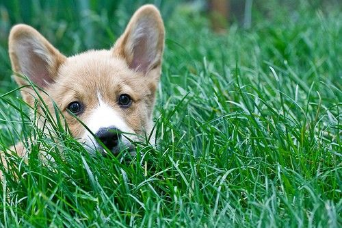 one moment you're walking across the lawn, then out of nowhere...BAM! corgi :)