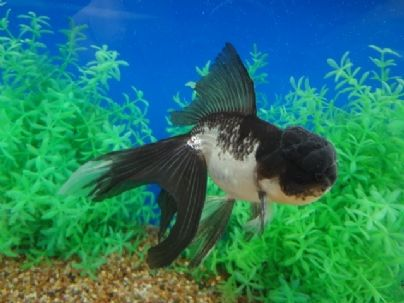 """5"""" Black and White Oranda with Silver accents... just ..."""
