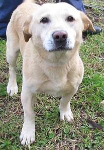 Labrador X Corgi Boy In Need At A Pound Can You Help Him Campbelltown Campbelltown Area Preview Mascotas Labrador