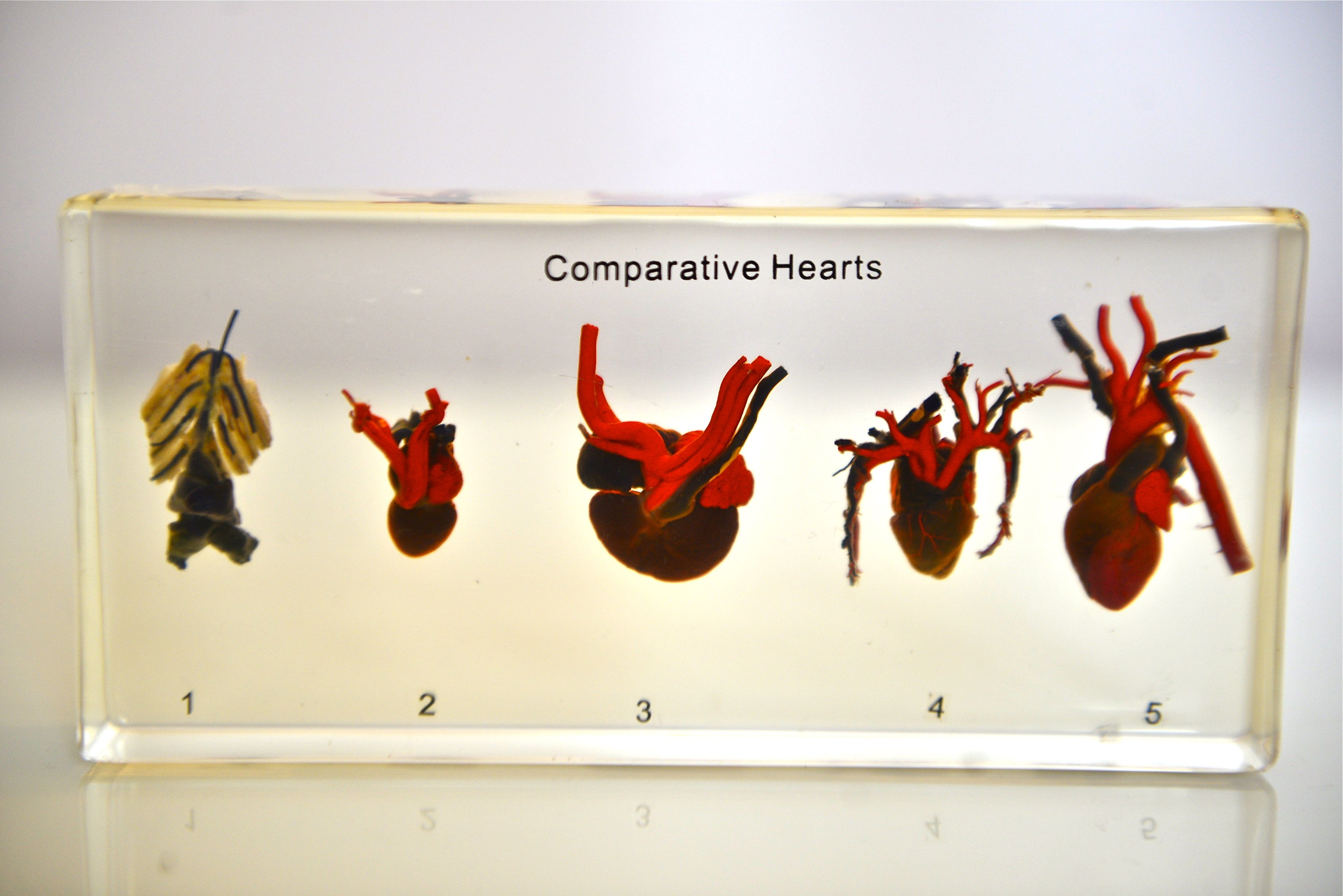 This Comparison Includes Hearts From Five Different Animal