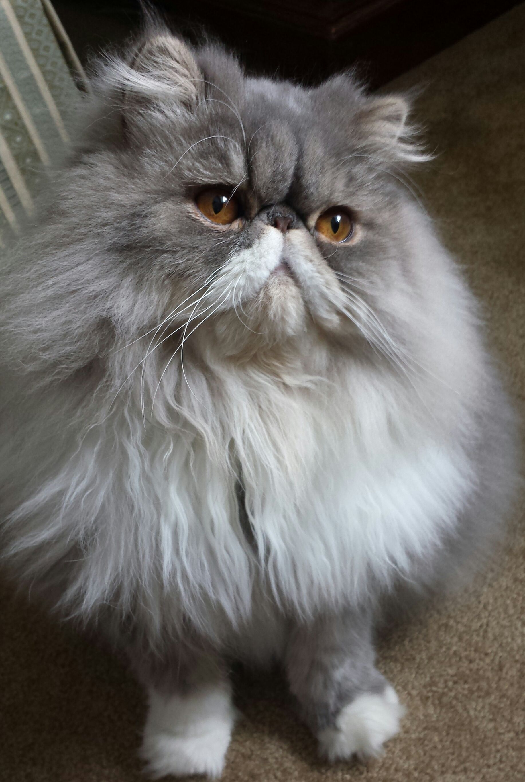 Berryhill Big Blue Sky Bigsby Biggs A Year Old Persian Cat Cats Big Blue