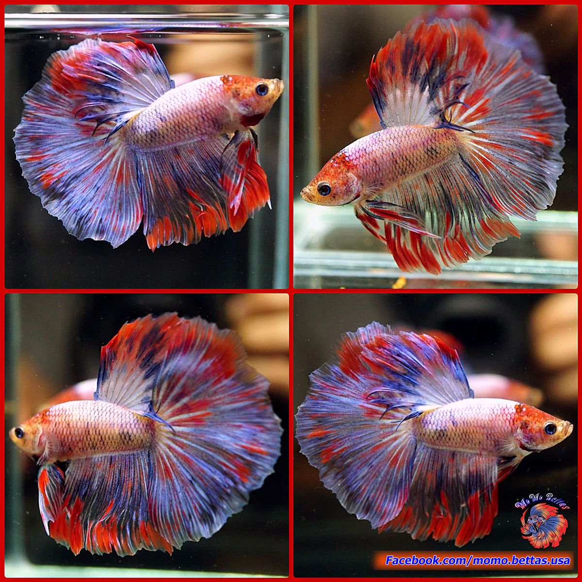 Live Betta Fish Male Fancy Multicolored Flaming Pink Rosetail ...