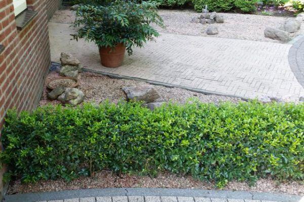 Ilex maximowicziana u0027Kanehiraeu0027 Der Ilex (Stechpalme - heckenpflanzen