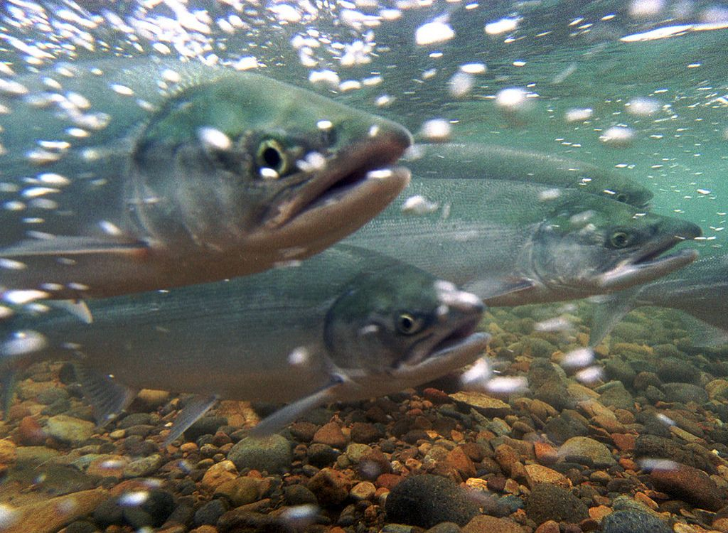 Farmed fish are breaking out of their pens at an alarming