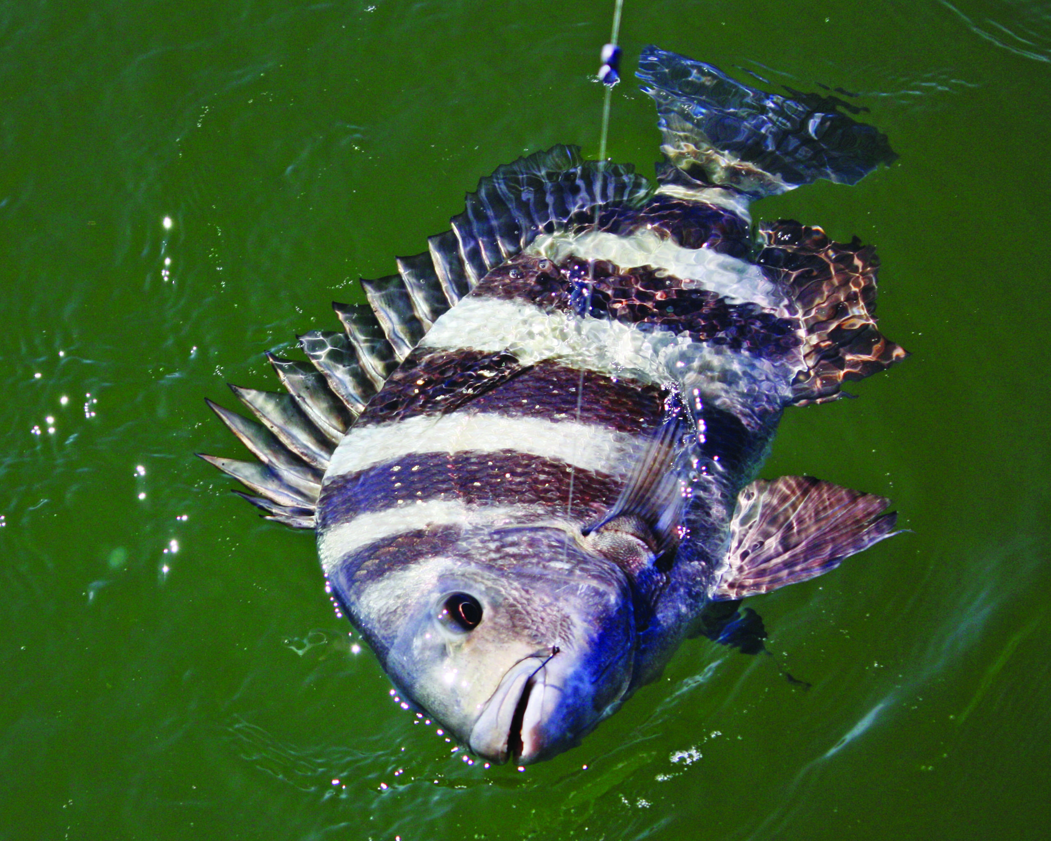 Fishing Sheepshead In December Is Both Rewarding And Fun Fish Catching Fish Lake Fishing