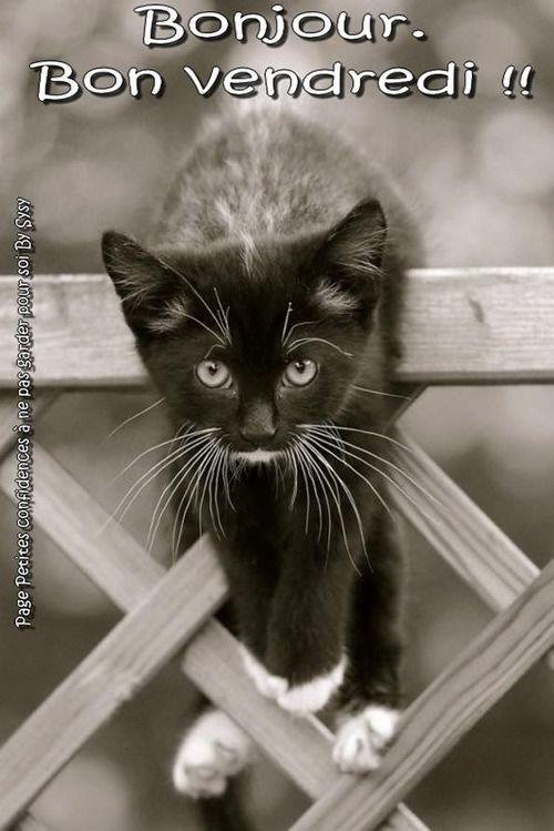 Bonjour. Bon vendredi !! | Photo chat, Chat drôle