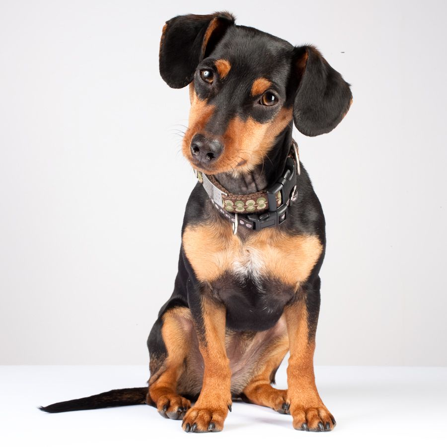 Dachshund Min Pin Mix Google Search Dachshund Dog Face Doxie