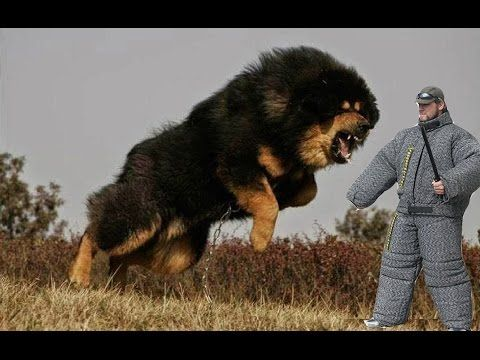 Russian Bear Hunting Dogs Immigrate To U S Dogs