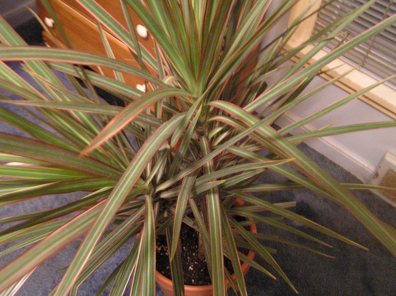 Dracaena marginata tricolor houseplants learn more http for Dracaena marginata