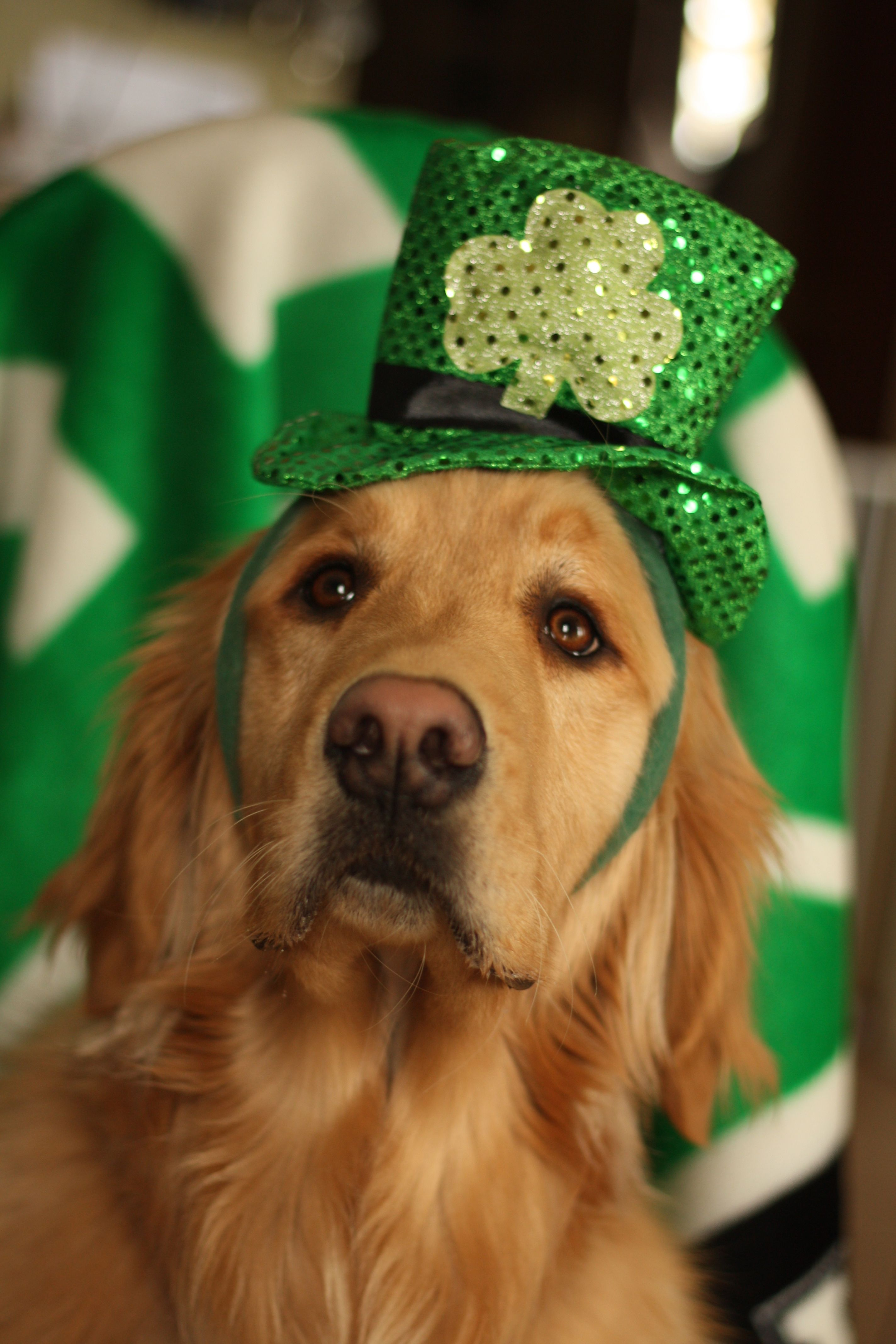 Green Is My Color Pet Holiday Dogs Golden Retriever Golden