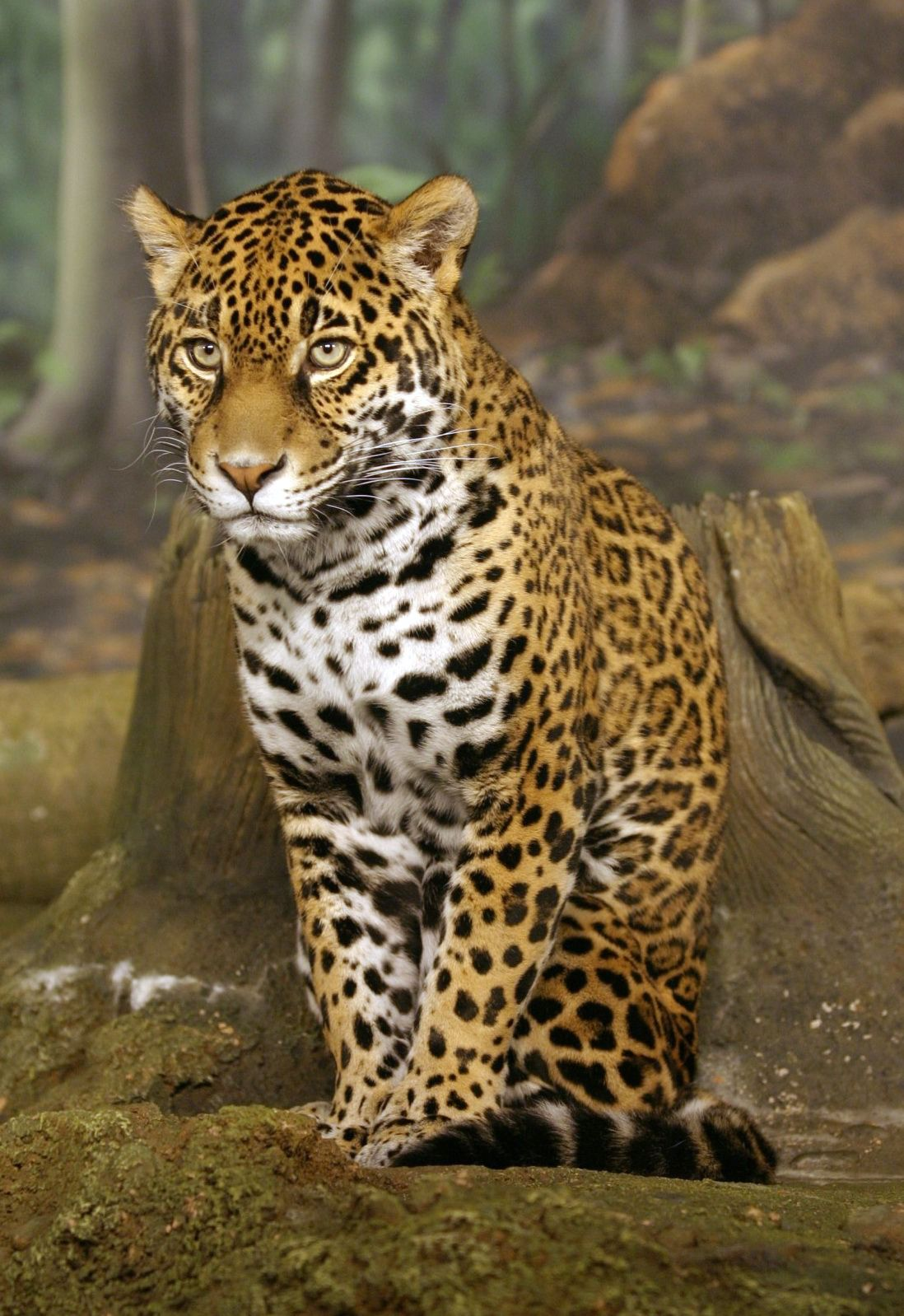 What Kind Of Animals Live In The Amazon Rainforest Jaguar