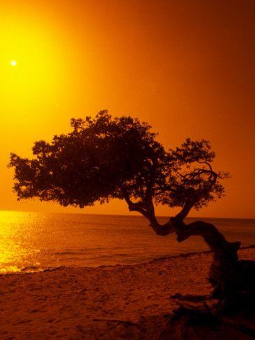 Lone Divi Divi Tree at Sunset, Aruba Photographic Print